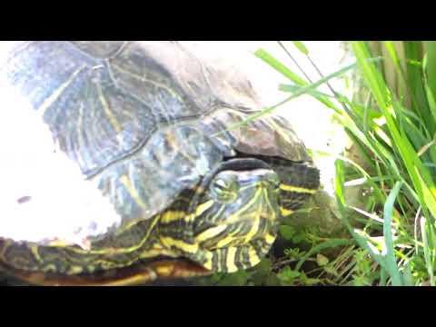 Huge Red Eared Slider Turtle