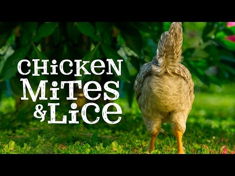 Chicken Mites and Lice