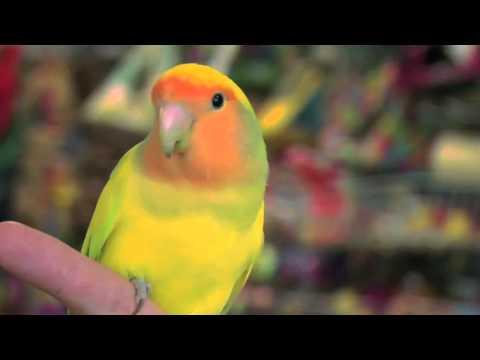 Exotic Birds: Love Birds