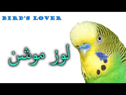 Birds loose motion or diarrhea, and its treatment Video No. 12