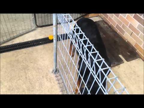 Rottweiler Pregnant Week 6: 11 Puppies