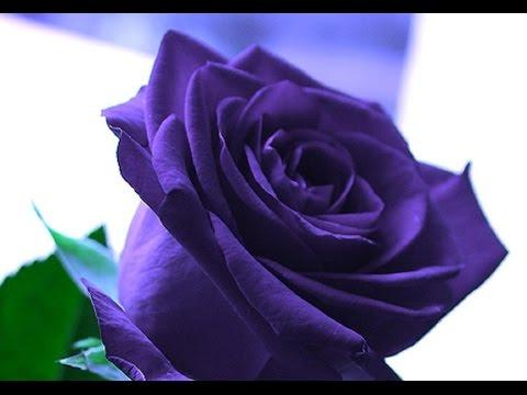 blue roses - blue roses for sale