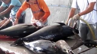 Tuna Processing Video
