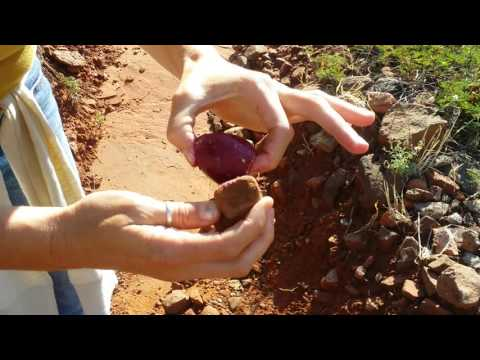 How to Pick and Eat Prickly Pear Fruit with your Bare Hands