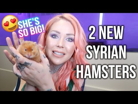 I Adopted TWO Syrian Hamsters!! | KristenLeannimal