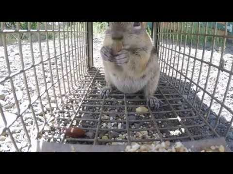 Trapping a ground squirrel