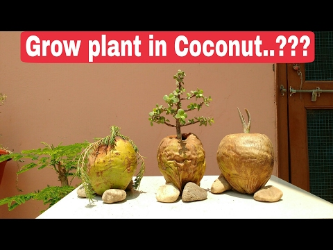 Grow plant in Coconut shell, The One Page plant grow in Coconut