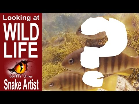 Mystery Rock Pool Fish Videoed