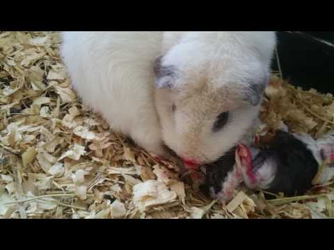 Guinea pig having babies