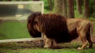 """""""Wie reagieren Löwen wenn sie sich selbst im Spiegel sehen?"""" Der Serengeti-Park zeigt es!"""