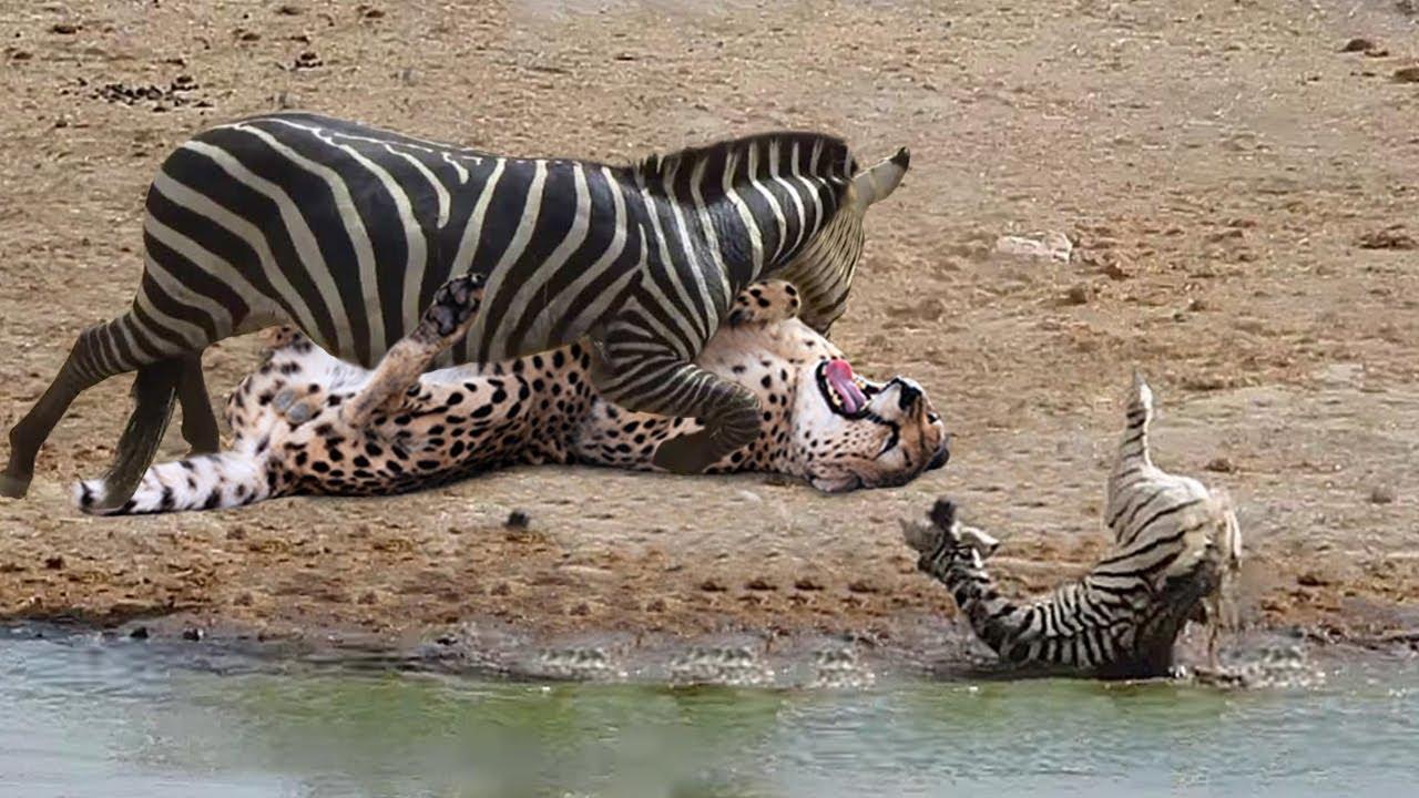 Unbelievable! Mother Zebra Take Down Cheetah, Hyenas, Wild Dogs To Save Baby Zebra