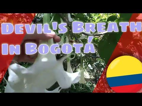 Botanical Devil's Breath (Scopolamine) from Angel's Trumpets (Brugmansia)