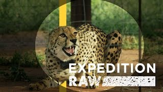 Cheetah Matchmaking: Helping Big Cats Find A Mate | Expedition Raw