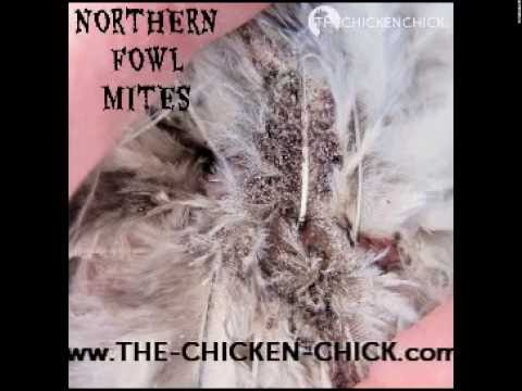 Poultry Mites & Lice Treatment in Backyard Chickens with Elector PSP