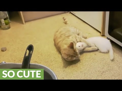 Pet ferrets and cat are the best of friends