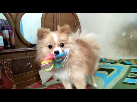 My doggies playing with rubber bands cute and funny video of my pet in excellent seller by ritashu