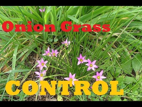 [How To Control Onion Grass] In Your Lawn - [Onion Grass] [Onion Weed] [Destiny Herbicide]