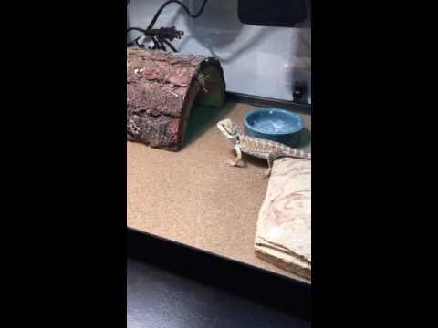 Baby bearded dragon eats crickets