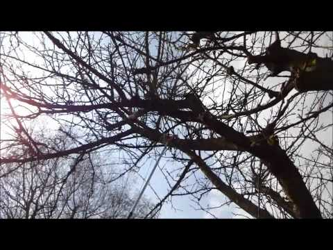 Pruning a large old apple tree