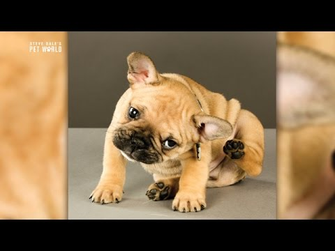 Steve Dale: Treating Otitis (Ear Infections) in Dogs