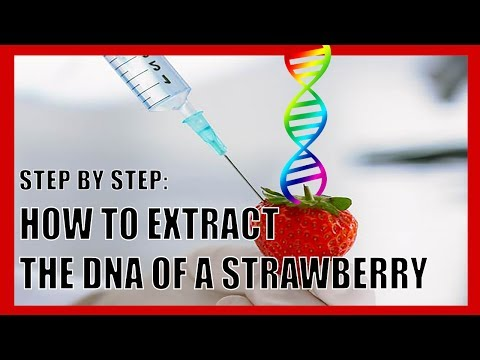 How To Extract the DNA of Strawberries (Simplified)