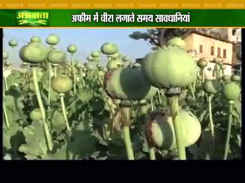 Tips for farmers who cultivate opium as medicinal plants