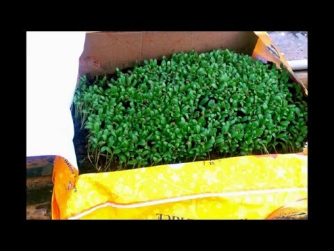 how to grow methi. DIY bed for growing micro greens