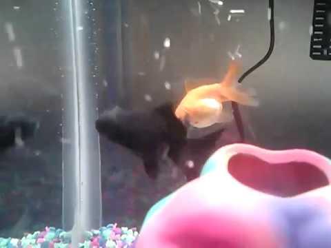 Is my Goldfish Pregnant?
