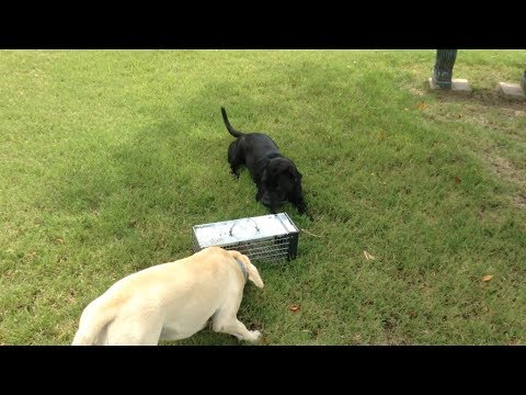 Training Squirrel Hunting Dogs