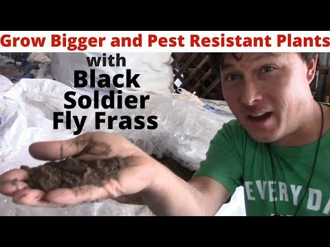Grow Bigger and Pest Resistant Plants with Black Soldier Fly Insect Frass