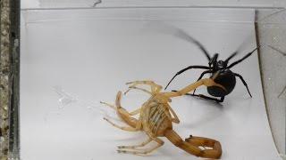 Download Scorpion And Black Widow Display Their Natural Survival Skills (Warning: May be disturbing) Video