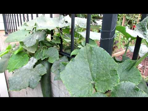 Tending Cucumbers: Identifying and Treating White Powdery Mildew with Baking Soda