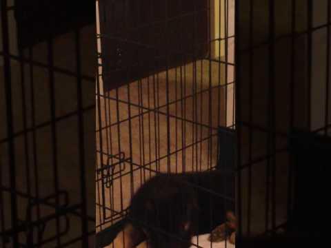 German Shepherd Puppy First Night Home