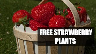 FREE STRAWBERRY PLANTS (from existing plants)w/ Flower the chicken
