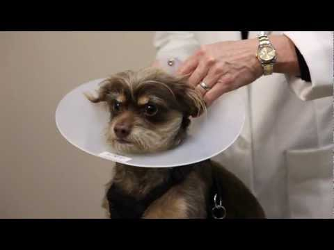 Pet Ear Infections and Preventing Deafness