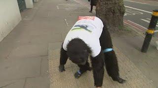The man crawling the London Marathon dressed as a gorilla