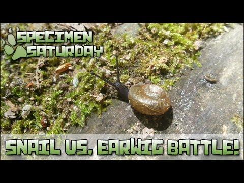 Snail vs. Earwig Battle!! [ Specimen Saturday ]