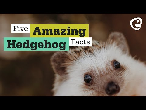 5 Hedgehog facts you probably maybe didn't know