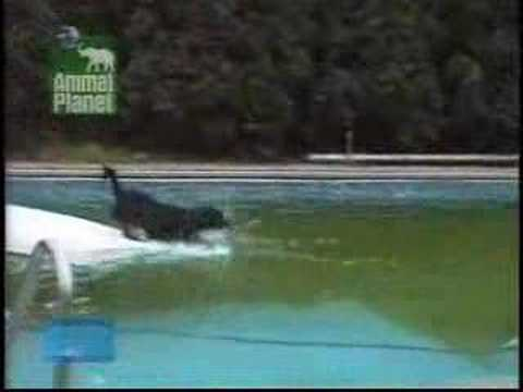 Clever dog getting ball swimming pool funny
