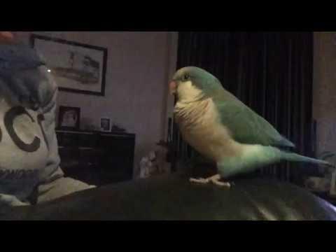 Talking Quaker Parrot Spud