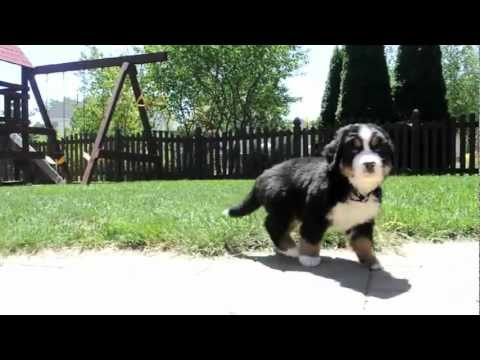Chicago's Own Too Cute Bernese Mountain Puppies (6 weeks old)