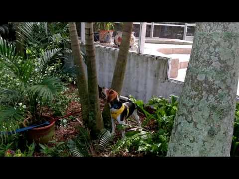 Foster Beagle Dale Get Stuck in Tree