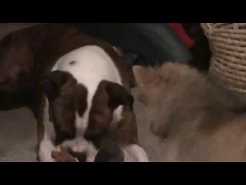 Dogs Fighting over Toy