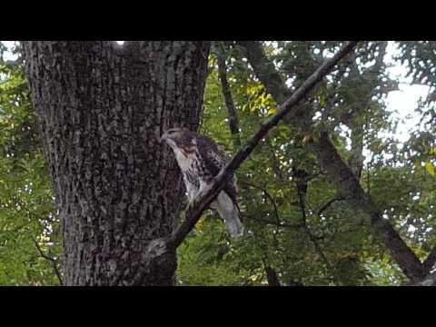 Three Red Tailed Hawks in one tree... MUST SEE