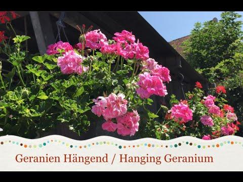 Caring and Propagating Hanging Geranium