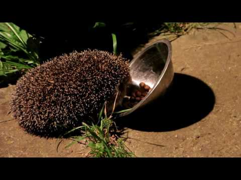 Hedgehog night adventures