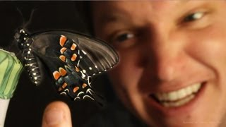 Butterfly Farming Is Amazing Full Life Cycle Smarter Every Day 96