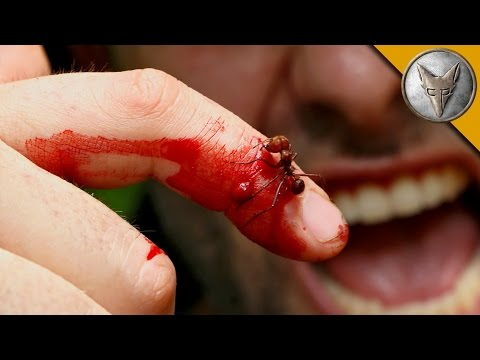 Brave Wilderness | CRAZY ANT BITE!