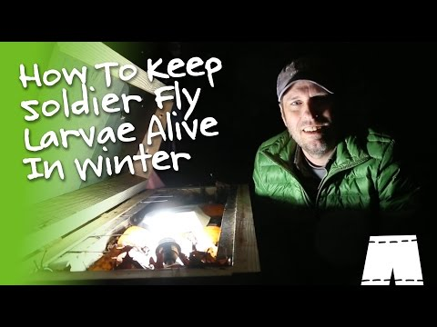 How To Raise Soldier Fly Larvae In Freezing Temperatures