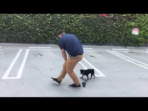 Teaching Junebug to Walk with a Loose Leash